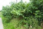 Japanese Knotweed Before